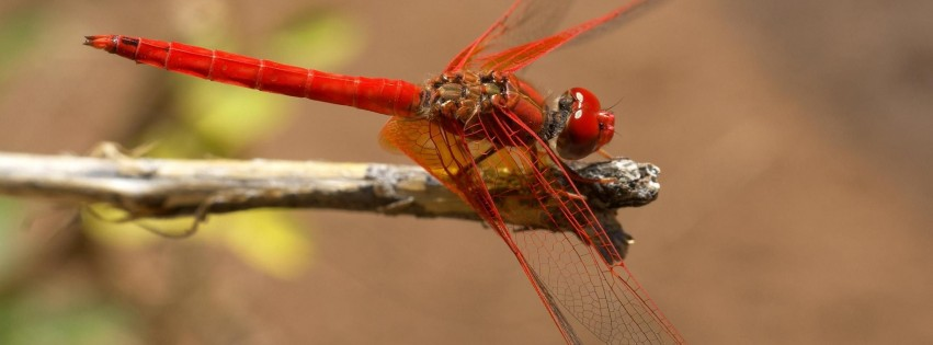 Trithemis Dragonfly