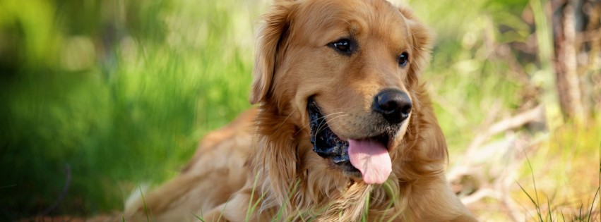 Cute golden retriever dog 8