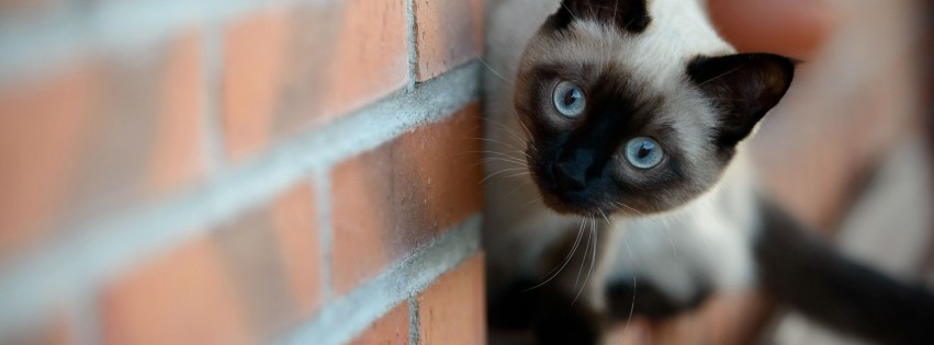 brick cat siamese