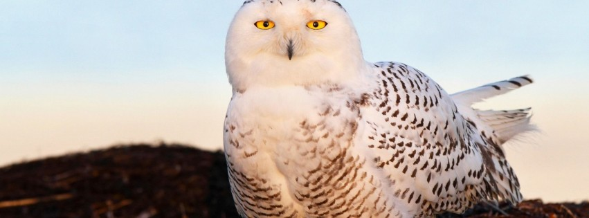 bird snowy owl eyes light