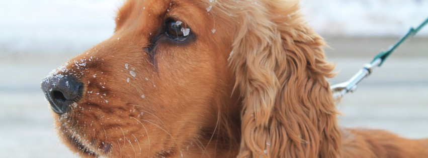 Cute golden retriever dog 10