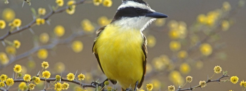 Great Kiskadee Texas Birds Yellow Animal