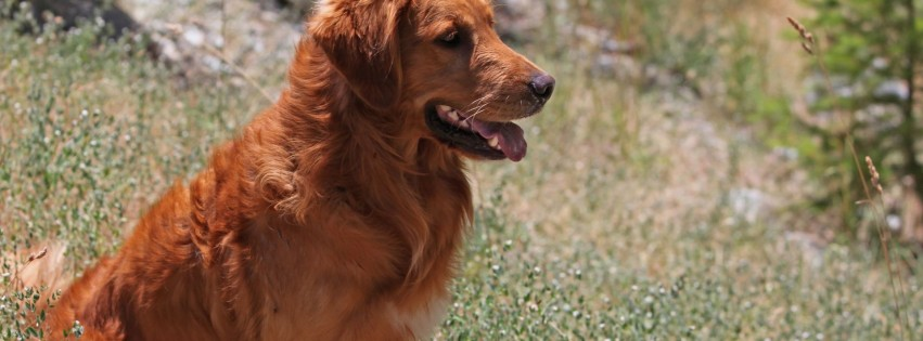 Cute golden retriever dog 3