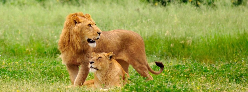 Lions on the prairie