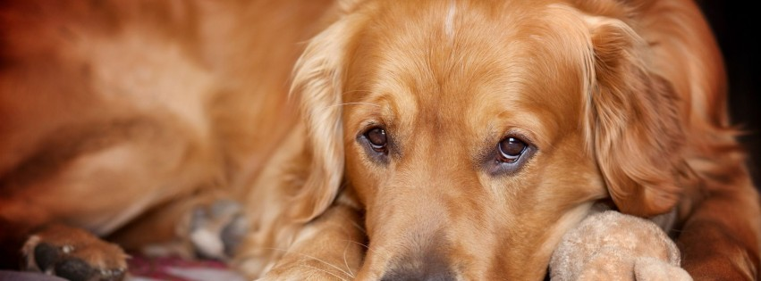 Cute golden retriever dog 4